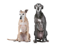 Two greyhound dogs Royalty Free Stock Images