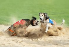 Two greyhound dogs in the finish stock photos