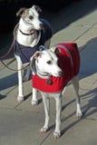 Two greyhound dogs Stock Photos