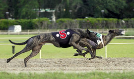 Two Greyhound Dogs Racing. Greyhound dogs racing on a track stock image