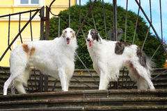 Two greyhound dogs standing on the steps of the castle Stock Photography
