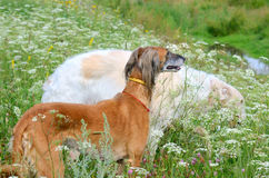 Two greyhound dogs in wildflowers Royalty Free Stock Photos