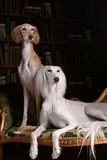Two greyhound saluki dog in Royal interior Royalty Free Stock Photo