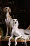 Two greyhound saluki dog in Royal interior Royalty Free Stock Photo