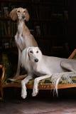 Two greyhound saluki dog in Royal interior Stock Photos
