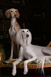 Two greyhound saluki dog in Royal interior Stock Images