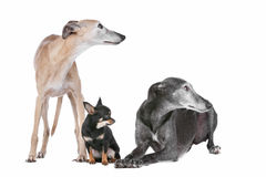 Two greyhounds and a chihuahua Stock Photos