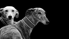 Two greyhounds isolated on black Royalty Free Stock Photo