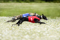 Two Greyhounds lure coursing competition in a beautiful chamomil. E field. Rear flight phase, suspended period, swing phase of double-suspension rotary gallop Stock Photos