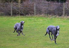 Two Greyhounds pet dogs racing in the countryside. Royalty Free Stock Photo
