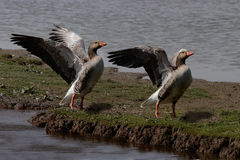 Two Greylag Geese. Exersise their wings. Greylag are the ancesters of domestic geese Stock Photography