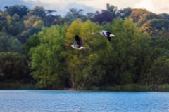 Two Greylag Geese In Flight Stock Images