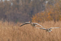 Two Greylag Geese flying over the reed Royalty Free Stock Photography