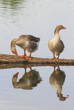 Two Greylag geese are at the pond and are reflected Royalty Free Stock Photography