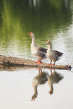 Two Greylag geese are at the pond and are reflected Stock Image