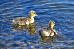 Two Greylag goslings on clear blue water Stock Photo