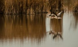 Greyleg geese flying over the lake Stock Photo