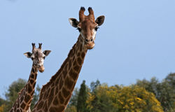 Two griaffes. Two giraffes paying attention to the photographer Stock Photography