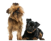 Two Griffon Bruxellois with interrogative look, isolated Royalty Free Stock Photography