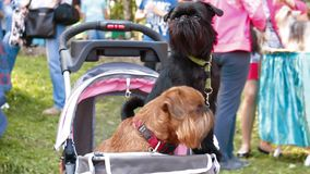 Two Griffon dog. In the stroller stock footage