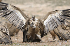 Two griffon vultures fighting. Stock Photos