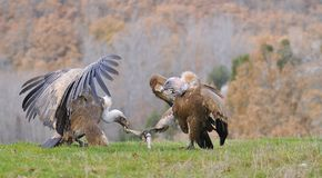 Two griffon vultures fighting over carrion. in the meadow. Stock Photo