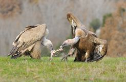 Two griffon vultures fighting over carrion. in the meadow. Royalty Free Stock Image