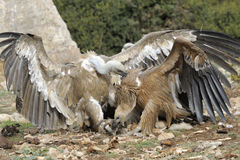 Two griffon vultures fighting. Royalty Free Stock Photography