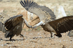 Two griffon vultures fighting. Stock Images