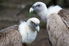 Two Griffon vultures Stock Images