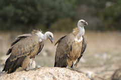 Two griffon vultures  on a rock. Royalty Free Stock Photo