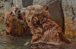 Two Grizzly Bear Cubs Playing in the Water, Sn Diego Zoo Stock Photography