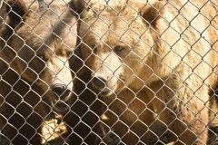 Grizzly Bears behind a fence. Two grizzly bears in captivity behind a chain link fence Royalty Free Stock Photo