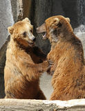 Two Grizzly Bears Standing Upright Stock Image