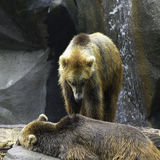 Two grizzly bears playing at the zoo. Two captive grizzly bears play in their enclosure at the zoo Stock Photography