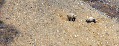 Two grizzly bears rest on gravel bank in Denali National Park. Two grizzly bears rest on a gravel bank in the Danali National Park Royalty Free Stock Photos