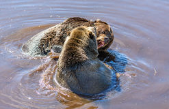 Two Grizzly Bears Ursus arctos horribilis fighting Stock Image