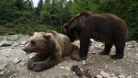 Two grizzly bears in wild meeting stock footage