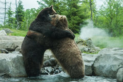Two Grizzly (Brown) Bears Fight Royalty Free Stock Photo