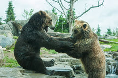 Two Grizzly (Brown) Bears Fight Stock Photos