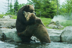 Two Grizzly (Brown) Bears Fight Royalty Free Stock Image