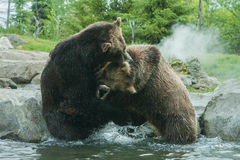 Two Grizzly (Brown) Bears Fight Stock Images