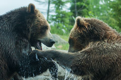Two Grizzly (Brown) Bears Fight soft focus Stock Photo