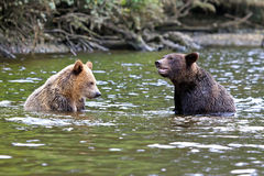 Two Grizzlys. Are playing in the river Stock Images