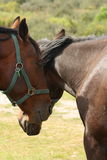 Two grooming horses Stock Images