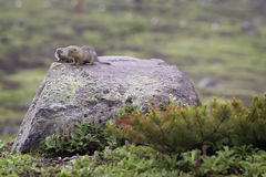 Two ground squirrel sitting on a rock Stock Photo