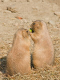 Two ground squirrels. Eating some fruits Stock Images