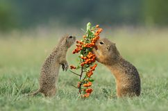 Two ground squirrels Stock Image