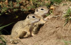 Two ground squirrels Royalty Free Stock Images