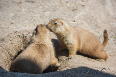 Two ground squirrels also known as Spermophilus are sniffing each other Royalty Free Stock Photography